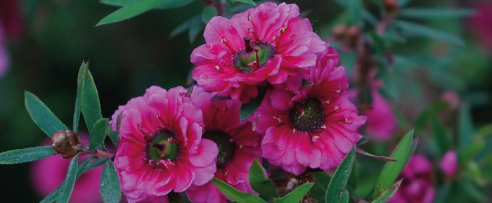 Blüten der neuseeländischen Südseemyrte.